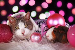 Christmas cat with guinea pig cavy animal xmas animals cats cute pink decor stock images
