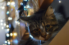 Christmas Cat. Cat intrigued by the Christmas lights Stock Photo