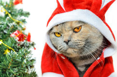 Christmas cat looking at camera Stock Images