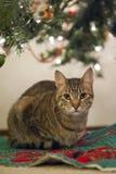 Christmas Cat Royalty Free Stock Image