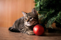 Christmas cat with toy Royalty Free Stock Image