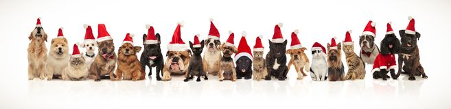 Christmas cats and dogs wearing santa caps standing and sitting. Cute team of christmas cats and dogs wearing santa caps standing and sitting on white background stock photo