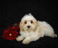 Christmas Cavachon Puppy Stock Photos