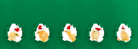 Christmas chicken portraits Royalty Free Stock Photo