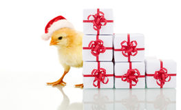 Christmas chicken with presents Stock Image