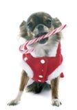 Christmas chihuahua Royalty Free Stock Image