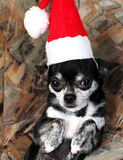 Christmas chihuahua  with Santa costume. Stock Photo