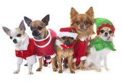 Christmas chihuahua in studio Stock Photo