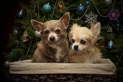 Christmas Chihuahuas in a basket Stock Image