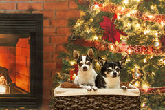 Christmas Chihuahuas in a basket Royalty Free Stock Photos