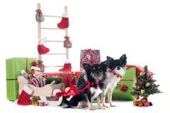 Christmas chihuahuas Stock Image