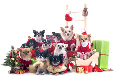 Christmas chihuahuas Royalty Free Stock Images