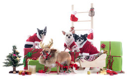 Christmas chihuahuas Royalty Free Stock Image