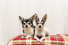 Christmas Chihuahuas in a red basket Stock Photography