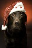 Christmas chocolate labrador. Chocolate labrador at christmas wearing a santa hat Stock Images