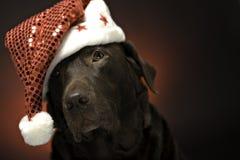 Christmas chocolate labrador. Chocolate labrador at christmas wearing a santa hat Royalty Free Stock Photo
