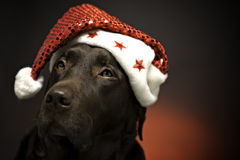 Christmas chocolate labrador. Chocolate labrador at christmas wearing a santa hat Stock Photos
