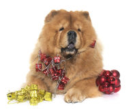 Christmas chow chow dog Stock Photography