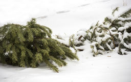After christmas. Close-up christmas tree thrown out to the snow Royalty Free Stock Photos