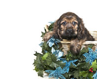 Christmas Cocker Spaniel Puppy Royalty Free Stock Photography