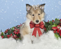Christmas Collie Puppy. Sweet Christmas Collie puppy sitting in snow with a big red bow on Royalty Free Stock Images
