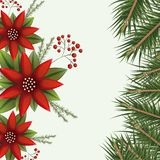 Christmas colorful poinsettia flowers and pine branches on white background. Vector illustration Stock Photo
