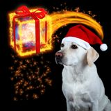 Christmas is coming. White labrador retriever with red Santa Claus hat watching a magic Christmas box coming Stock Photo