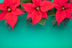Christmas composition. Christmas green decorations, fir tree branches with red flowers on green background. Flat lay. Top view, copy space royalty free stock image