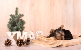 Christmas concept with an adorable Yorkshire Terrier Stock Photo