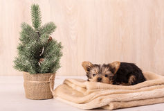 Christmas concept with an adorable Yorkshire Terrier Stock Photography