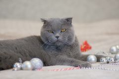 Christmas concept cat, Cat gray British cat beautiful animals royalty free stock image