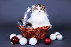 Christmas concept - cute british cat sitting in basket with chri Royalty Free Stock Photo