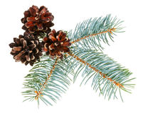 Christmas cone with fir branch Stock Image