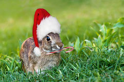 Christmas cottontail bunny. Cottontail bunny rabbit with Christmas hat and candy cane in the garden. Natural green grass background with copy space Stock Photography