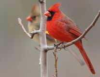 The Christmas Couple. Northern Cardinal pair in late December, 2008 Royalty Free Stock Images