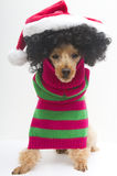 Christmas for Curly Haired Pooch Stock Photos