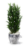 Christmas cypress decoration Royalty Free Stock Photos