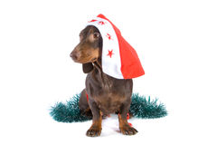 Christmas dachshund stock photo