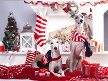 Christmas dachshund dog Stock Images