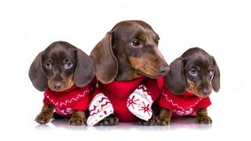 Christmas dachshund puppies. In Santa costume Royalty Free Stock Image