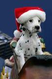 Christmas dalmatian puppy wearing santa's hat. Picture of a female Dalmatian puppy in Santa's sleigh wearing Santa's pointy cap Royalty Free Stock Image