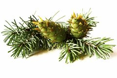 Christmas decoration - bunch of douglas fir tree with cones isol. Ated on white background Royalty Free Stock Photos