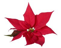 Christmas decoration poinsettia. On white background royalty free stock photo