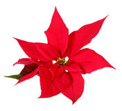 Christmas decoration poinsettia. On white background Stock Image