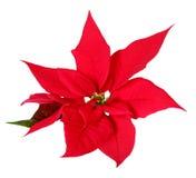 Christmas decoration poinsettia Stock Image