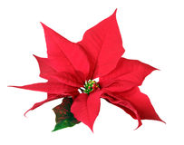 Christmas decoration poinsettia. On white background stock images