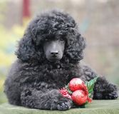Christmas Decoration  Poodle Puppy Happy New Year Stock Image