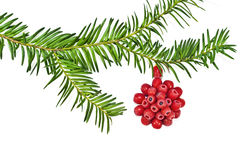 The Christmas decoration with red fruit yew tree o Stock Photo