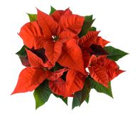 Christmas decoration, red poinsettia Royalty Free Stock Photos