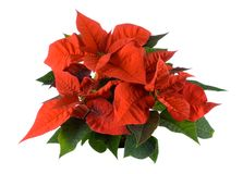 Christmas decoration, red poinsettia Stock Images
